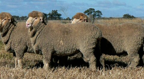 One Oak Poll Merino Stud