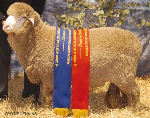 One Oak Poll Merino Stud sire