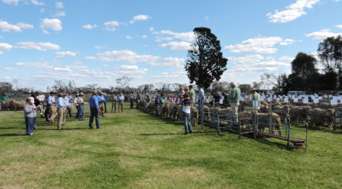 One Oak Poll On Property auction, 2015, selling 107 rams and averaging $1475