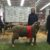 Reserve Champion March Shorn Poll Ram, Bendigo Show 2016