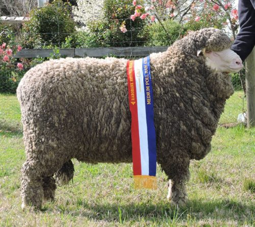 B14012 - Champion Medium Wool Poll Ram, Dubbo National Show and Sale 2016