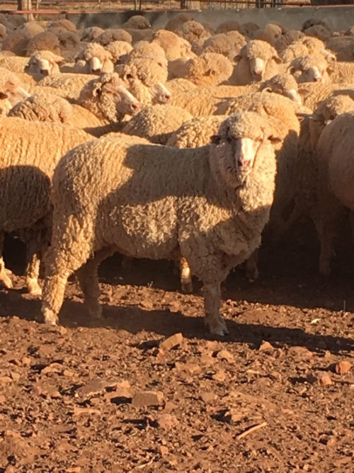 Justin and Natalie McCarten's ewes are awarded third place in the 2019 Lake Cargelligo Ewe Compettion.