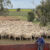 Increased wool cuts lifts profitability at Ivyholme